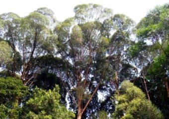 Dryobalanops aromatica